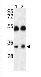 Western blot - Anti-Orai1 antibody (ab86748)