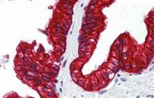 Immunohistochemistry (Formalin/PFA-fixed paraffin-embedded sections) - Anti-SP3 antibody (ab87091)