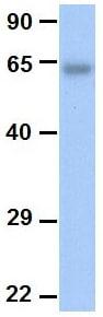 Western blot - Anti-Zinc finger protein 639 antibody (ab87196)