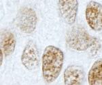 Immunohistochemistry (Formalin/PFA-fixed paraffin-embedded sections) - Anti-PLRG1 antibody (ab87268)