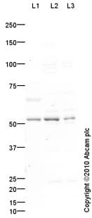 Western blot - Anti-Glucose Transporter 5 GLUT5 antibody (ab87847)