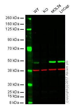 Western blot - Anti-EBP50 antibody (ab88238)