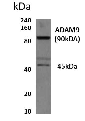 Western blot - Anti-ADAM9 antibody [MM0080-8A15] (ab89129)