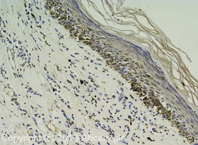Immunohistochemistry (Formalin/PFA-fixed paraffin-embedded sections) - Anti-HSPA2 antibody (ab89130)