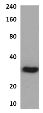 Western blot - Anti-Persephin receptor antibody [MM0311-3P34] (ab89344)