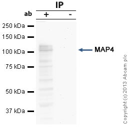 Immunoprecipitation - Anti-MAP4 antibody (ab89650)