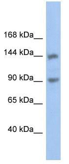 Western blot - Anti-CNTNAP3 antibody (ab89720)