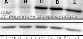 Western blot - Anti-Phosphoserine antibody (Biotin) (ab9335)