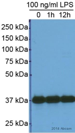 Western blot - Anti-GAPDH antibody - Loading Control (ab9485)