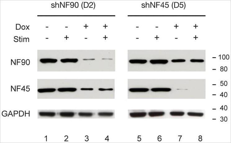 免疫印迹-抗GAPDH抗体负载控制(ab9485)
