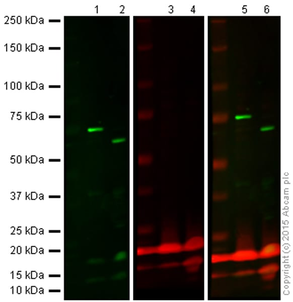 Western blot - Anti-Lamin B1 antibody (ab90169)