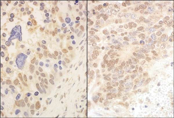 Immunohistochemistry (Formalin/PFA-fixed paraffin-embedded sections) - Anti-Cullin 2 antibody (ab90652)