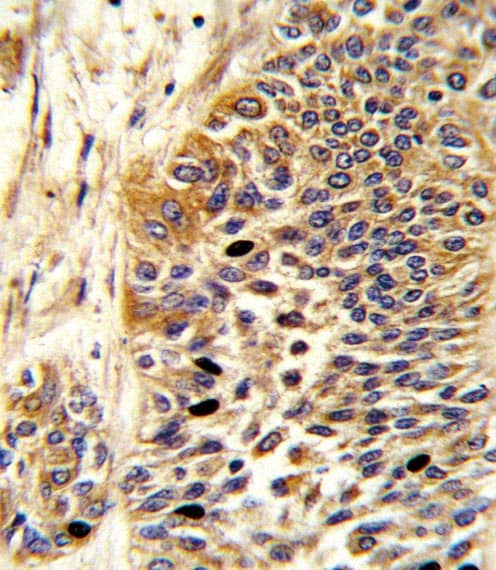 Immunohistochemistry (Formalin/PFA-fixed paraffin-embedded sections) - Anti-Wnt4 antibody (ab91226)