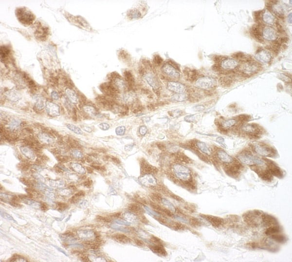 Immunohistochemistry (Formalin/PFA-fixed paraffin-embedded sections) - Anti-CEP68 antibody (ab91460)