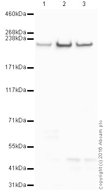 Western blot - Anti-Fast Myosin Skeletal Heavy chain antibody (ab91506)