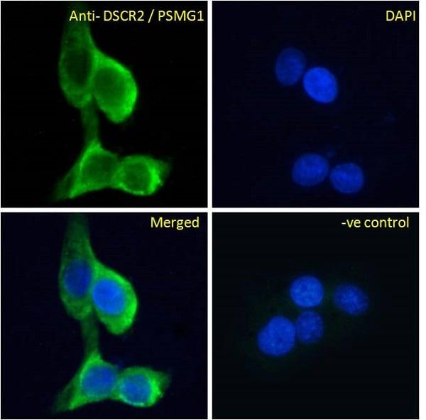 Immunocytochemistry/ Immunofluorescence - Anti-PSMG1 antibody (ab92278)