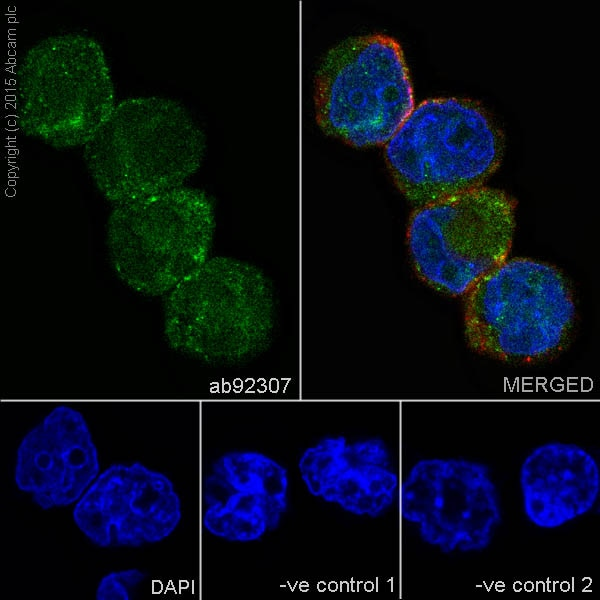 Immunocytochemistry/ Immunofluorescence - Anti-SATB1 antibody [EPR3895] (ab92307)