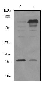 Western blot - ISG15 antibody [EPR3445] (ab92345)