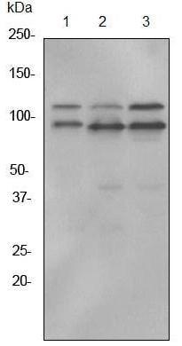 Western blot - ILF3 antibody [EPR3626] (ab92355)