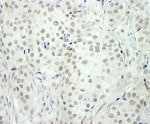 Immunohistochemistry (Formalin/PFA-fixed paraffin-embedded sections) - Anti-NCOA5 antibody (ab92431)