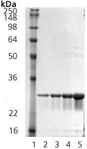 SDS-PAGE - Recombinant Mouse Hsp27 protein (ab92457)