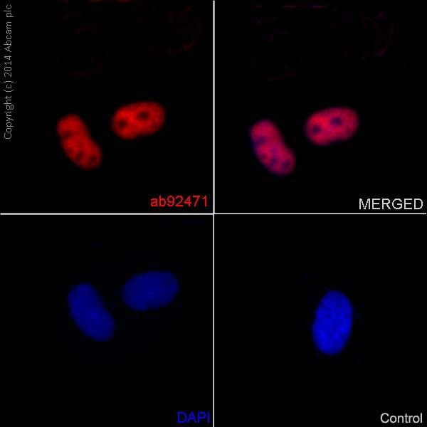 Immunocytochemistry/ Immunofluorescence - Anti-MSH6 antibody [EPR3945] (ab92471)