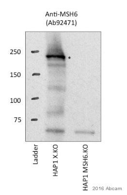 免疫印迹-抗MSH6抗体[EPR3945](ab92471)