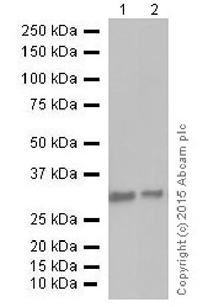 Western印迹-抗PCNA抗体[EPR38 21](AB92552)