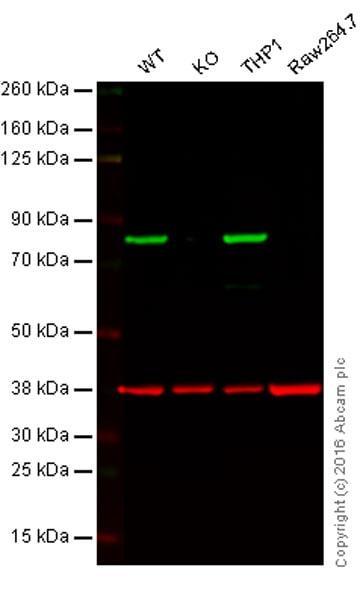Western blot - Anti-Calnexin antibody [EPR3632] (ab92573)
