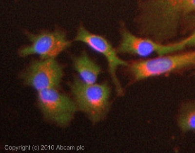 Immunocytochemistry/ Immunofluorescence - Anti-Thrombin antibody (ab92621)