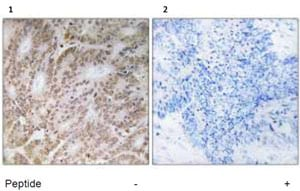 Immunohistochemistry (Formalin/PFA-fixed paraffin-embedded sections) - Anti-UBQLN4 antibody (ab92674)