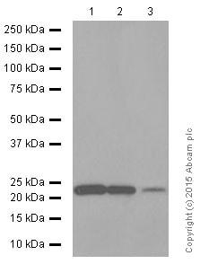Western blot - Anti-CD9 antibody [EPR2949] (ab92726)