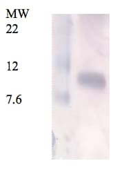 Western blot - Anti-Resistin antibody (ab93069)