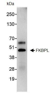Immunoprecipitation - Anti-FKBPL antibody (ab93783)
