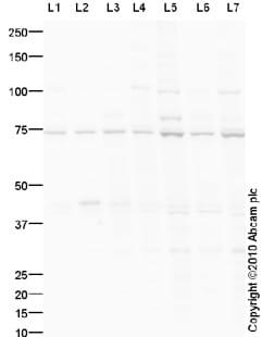 Western blot - Anti-Npas4 antibody (ab93822)