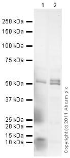 Western blot - Anti-BMP5 antibody (ab93852)