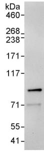 Immunoprecipitation - Anti-Ku80 antibody (ab93863)
