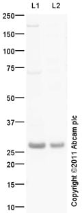 Western blot - Anti-IRGM antibody (ab93901)