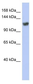 Western blot - Anti-ZNF423 antibody (ab94451)