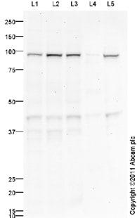 Western blot - Anti-SMURF1 antibody (ab94480)