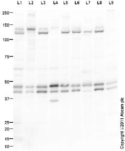 Western blot - Anti-ERK1 + ERK2 antibody - Loading Control (ab94484)