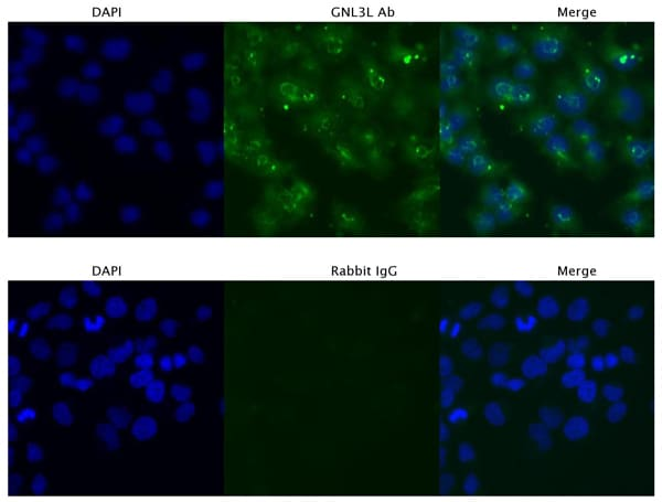 Immunocytochemistry/ Immunofluorescence - Anti-GNL3L antibody (ab94862)