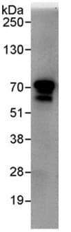 Immunoprecipitation - Anti-BRAP antibody (ab95179)