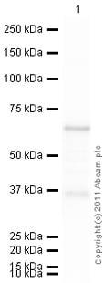 Western blot - Anti-IKB alpha antibody (ab95338)