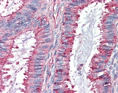 Immunohistochemistry (Formalin/PFA-fixed paraffin-embedded sections) - Anti-GPCR GPR27 antibody (ab95833)