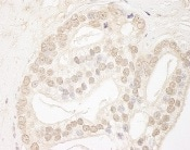 Immunohistochemistry (Formalin/PFA-fixed paraffin-embedded sections) - Anti-QSER1 antibody (ab95870)