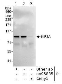 Immunoprecipitation - Anti-KIF3A antibody (ab95885)