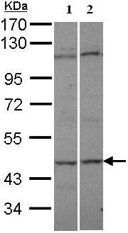 Western blot - Anti-C9orf98 antibody (ab95948)