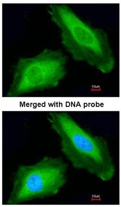 Immunocytochemistry/ Immunofluorescence - Anti-DDX3Y antibody (ab95979)