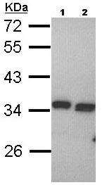 Western blot - Anti-PECR antibody (ab95999)